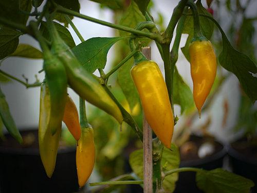 Chefs Chilli Plugs & Plants | World of Chillies