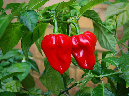 All Chilli Plugs & Plants | World of Chillies